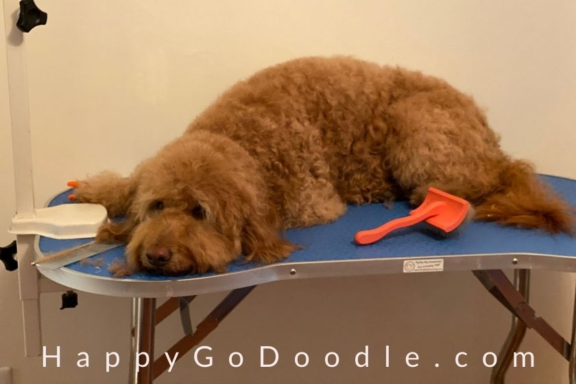 Happy, medium Goldendoodle dog lying on a Flying Pig brand grooming table, photo