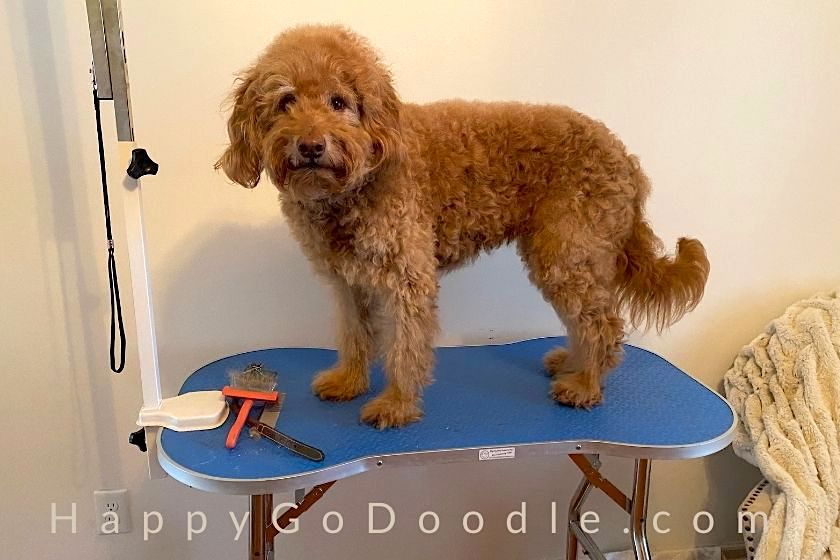 Medium Goldendoodle dog standing on a dog grooming table, photo