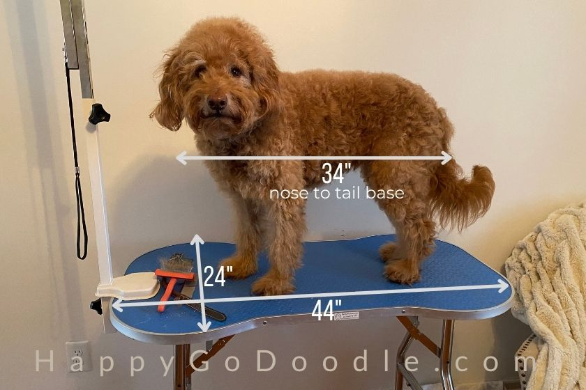 "Adult Goldendoodle standing on grooming table with measurements of the size of a grooming table for a Goldendoodle and showing dog's length (34"") and table length (24""), photo"