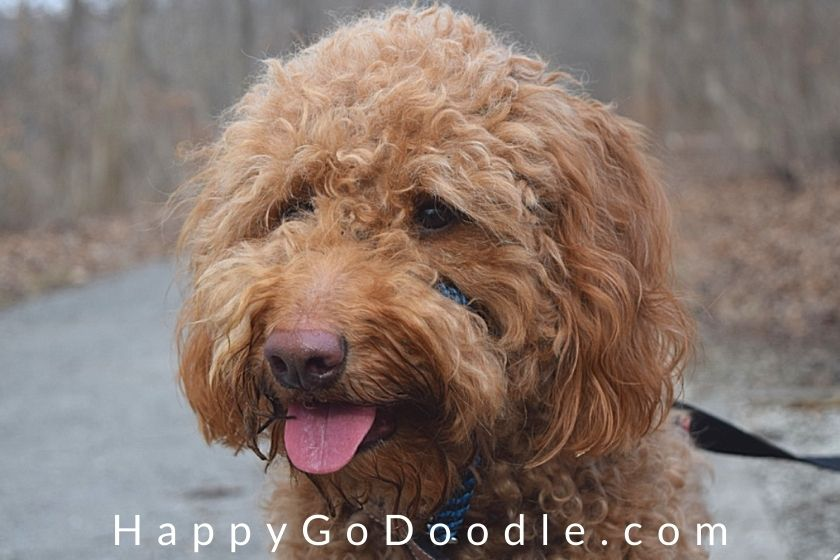 Apricot-colored Goldendoodle on a hiking trail for National Hiking Day, photo