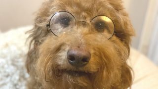 Smart-looking Goldendoodle wearing round glasses, photo