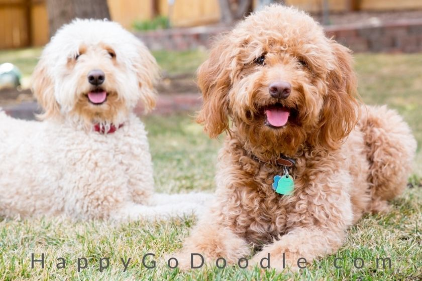 red goldendoodle and white goldendoodle sitting in grass ready for national goldendoodle day, photo
