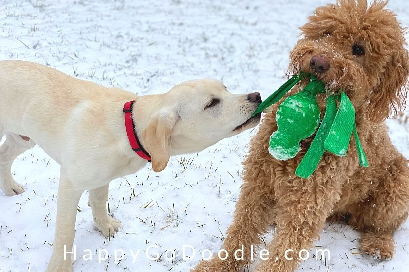 Goldendoodle dog and Lab puppy tugging on a Kong Wubba dog toy, photo