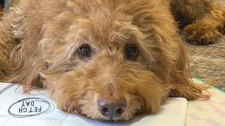 goldendoodle dog lying on calendar with