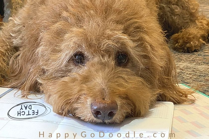 Red Goldendoodle dog with her nose on top of a desk calendar as if reading the 2021 pet holidays, photo