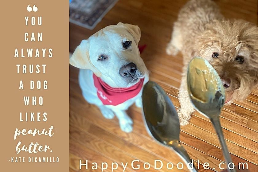 Adult Goldendoodle and Labrador puppy looking up at spoons of peanut butter, photo
