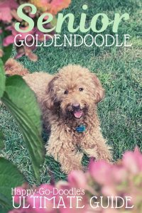 senior goldendoodle dog sitting in grass with title senior goldendoodle: ultimate guide