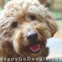 Close up of Senior Goldendoodle's face, photo