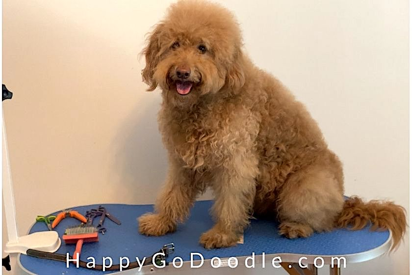 Medium-sized, senior Golden Doodle with fluffy red hair sitting on grooming table, photo