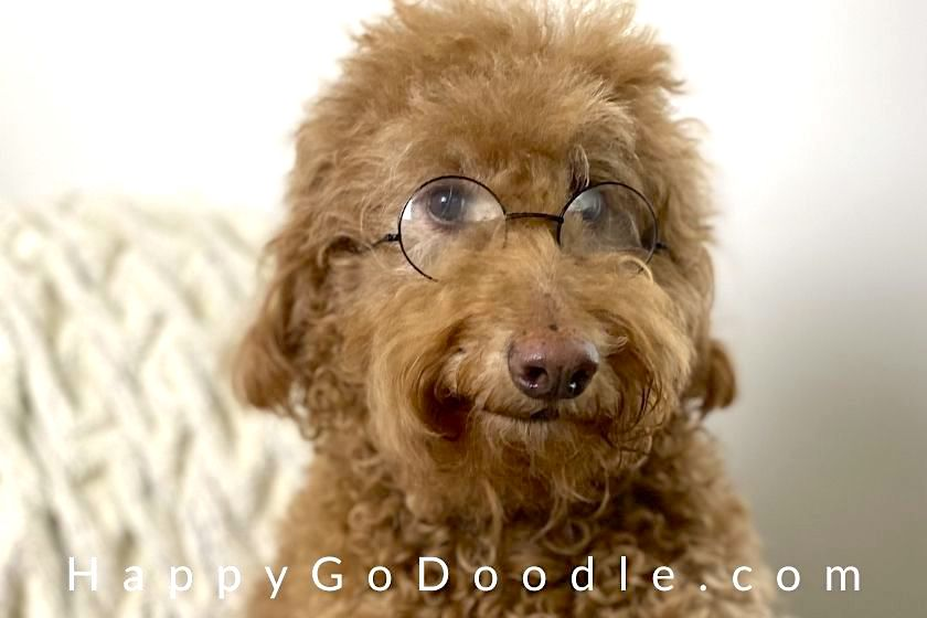 Adult Goldendoodle wearing glasses, photo