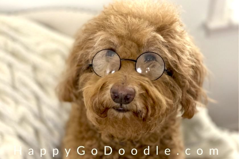 Close-up of red Goldendoodle wearing round glasses to look smart, photo