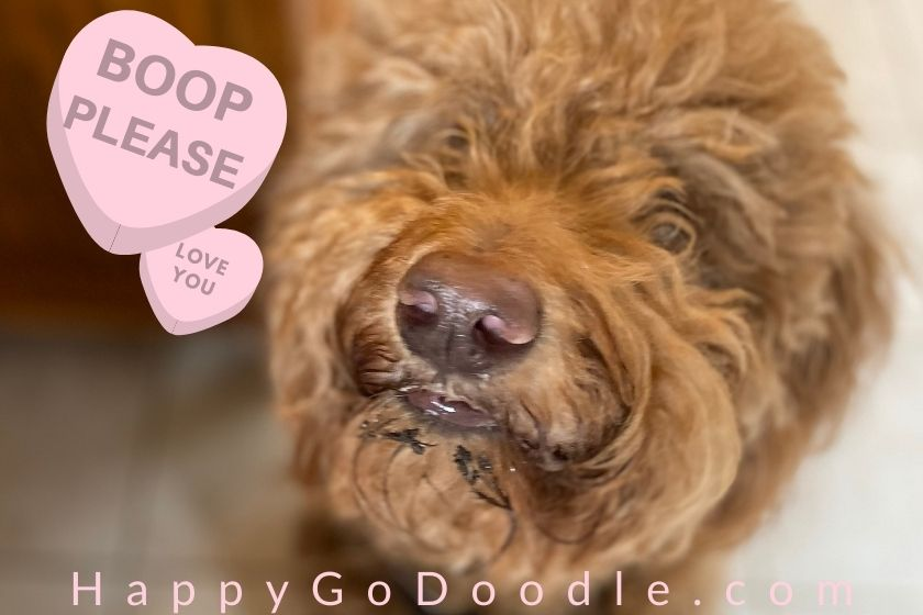 Adult Goldendoodle's nose and message, Boop Please, photo