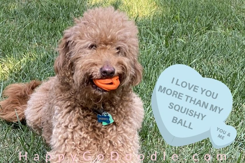 "Red Goldendoodle with squished orange ball and a meme says, "" love you more than my squishy ball, photo"