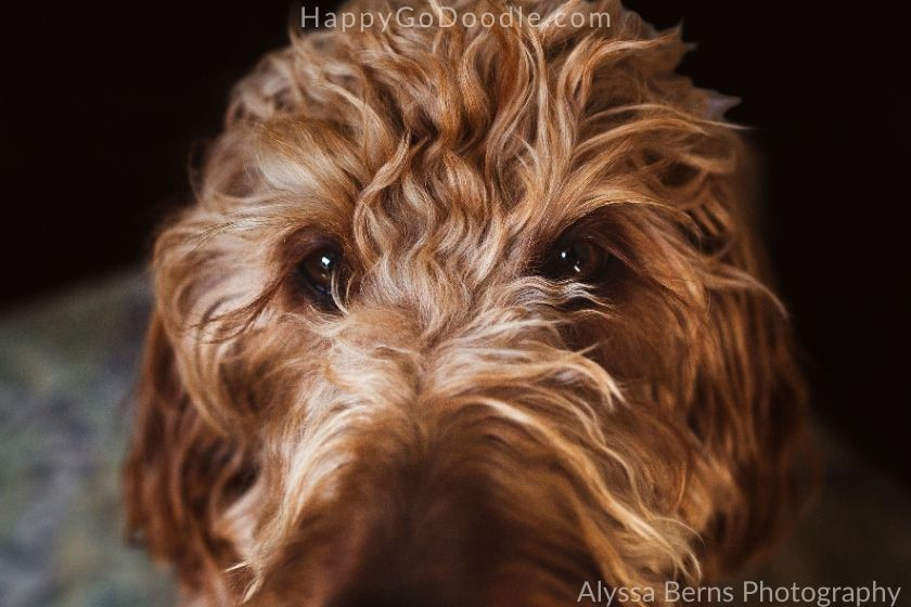 Close-up of Red Goldendoodle's long eyelashes, photo