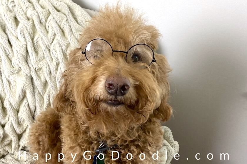 Funny Goldendoodle wearing glasses, photo