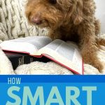 Adult Goldendoodle looking at book and title Are Goldendoodles Smart