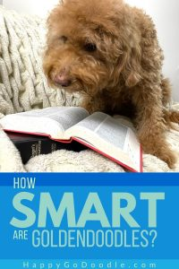 Adult Goldendoodle looking at a book and title, How Smart Are Goldendoodles