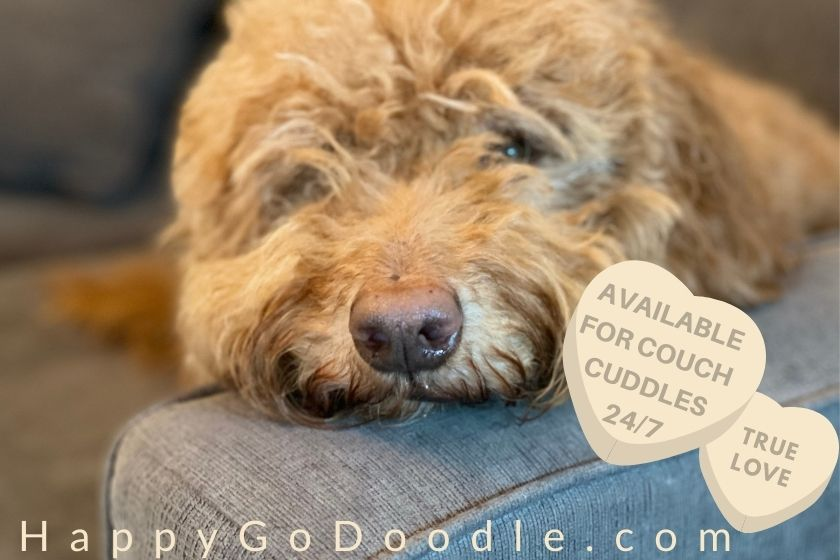 Close-up of Goldendoodle face on couch and candy heart says, available for couch cuddles, photo