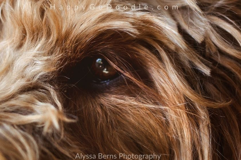 Close up of Goldendoodle's eye and long eyelashes, photo