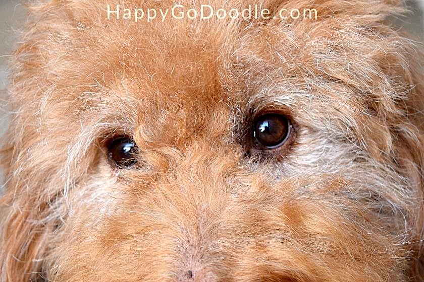 Chloe-up of senior Goldendoodle's eyelashes and eyebrowns, photo