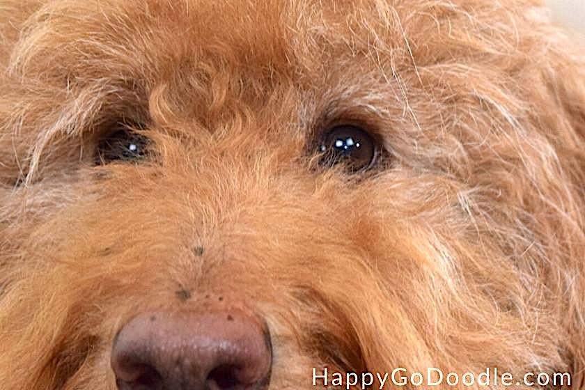 Close-up of Red F1b Goldendoodle's eyes with short eyelashes, photo