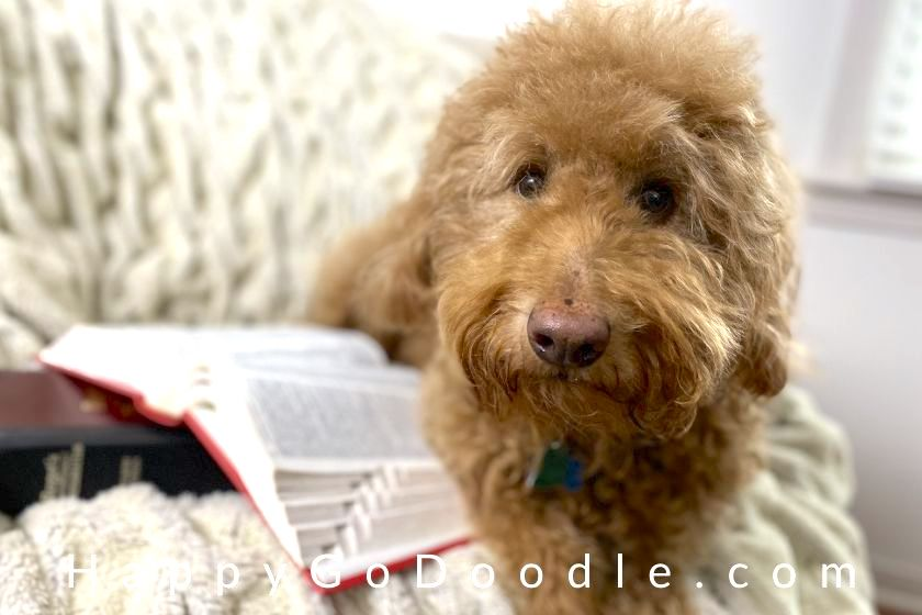 Goldendoodle lying beside dictionary, photo