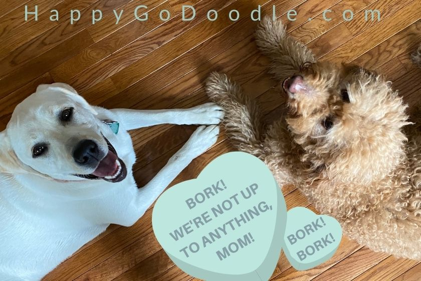 Red Goldendoodle and yellow Labrador Retriever and funny message, Bork! We're not up to anything, Mom! photo