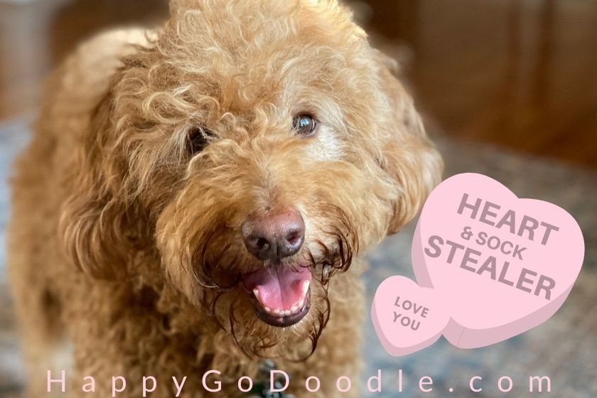 Red Goldendoodle dog's face and message on pink heart saying: heart (and sock stealer), photo