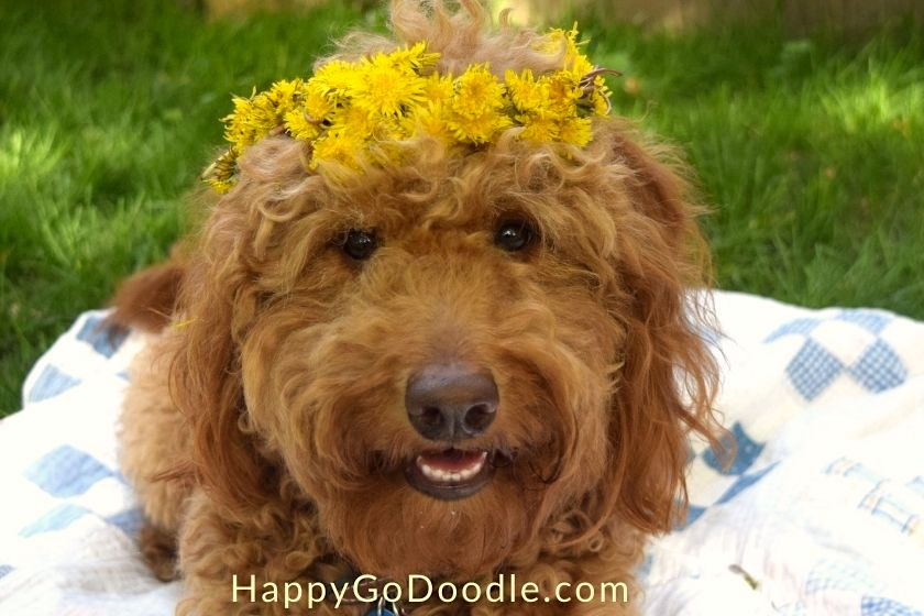 Red Goldendoodle dog wearing a flower crown made from dandelions, photo