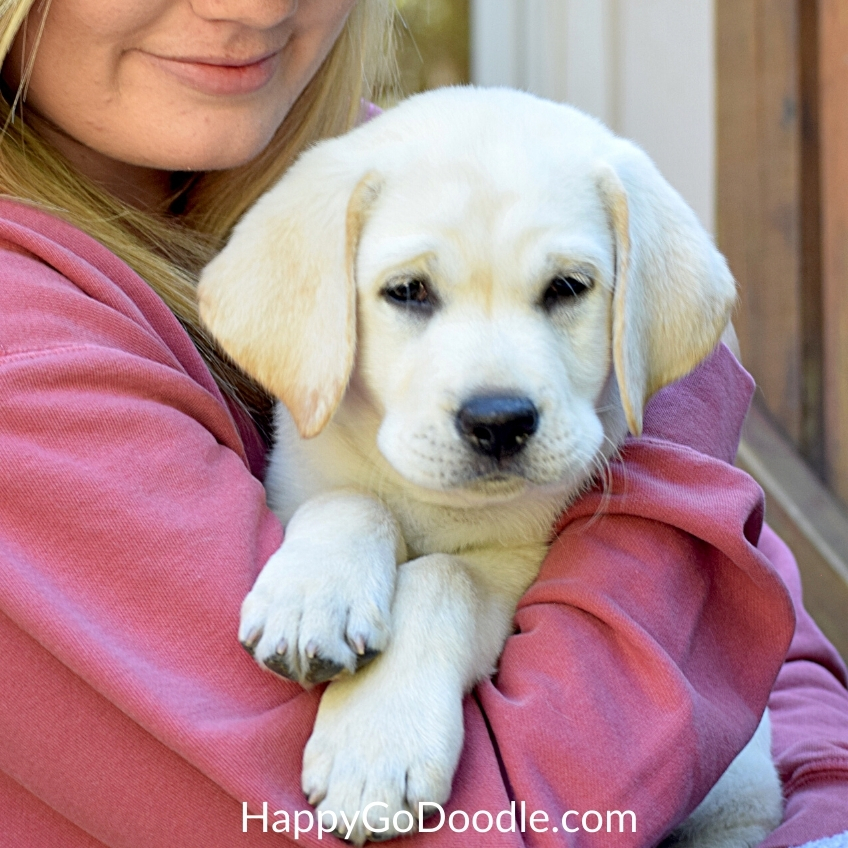 White Labrador Retriever puppy snuggly in dog mom's arms, photo