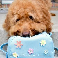 red dog with head on blue travel bag, photo