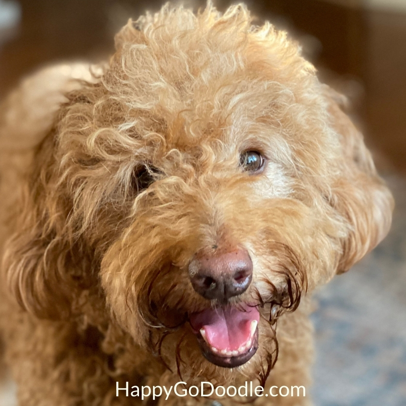 Red Goldendoodle with mouth open as if smiling, photo