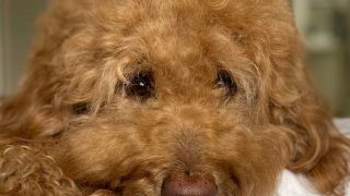 Adult red Goldendoodle's face looking friendly, photo