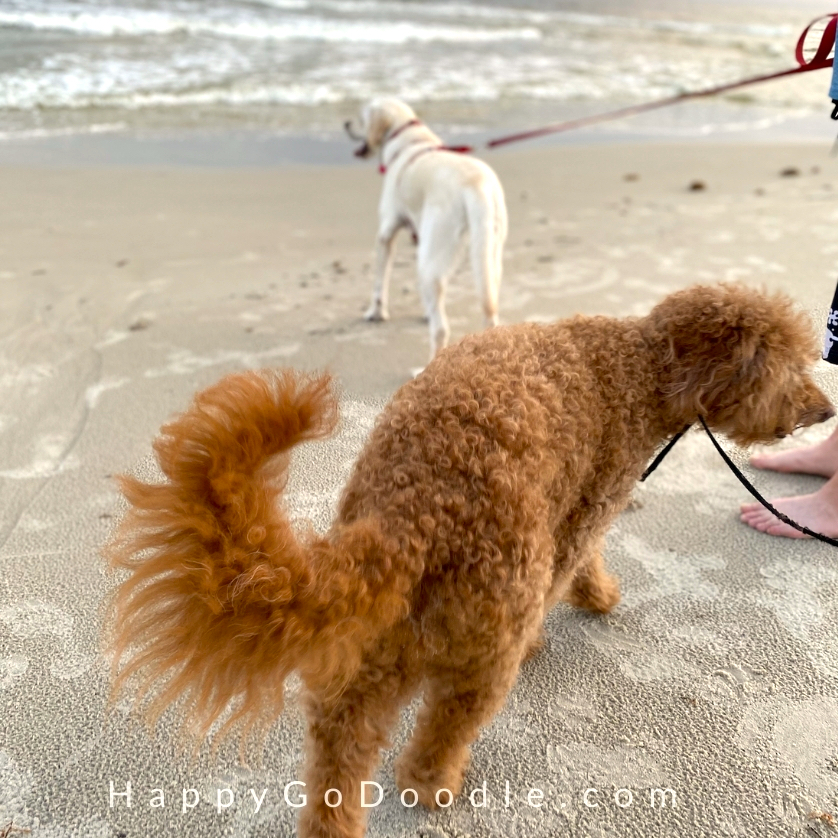 Red Goldendoodle and yellow Lab looking at the ocean in Alabama's gulf coast, photo