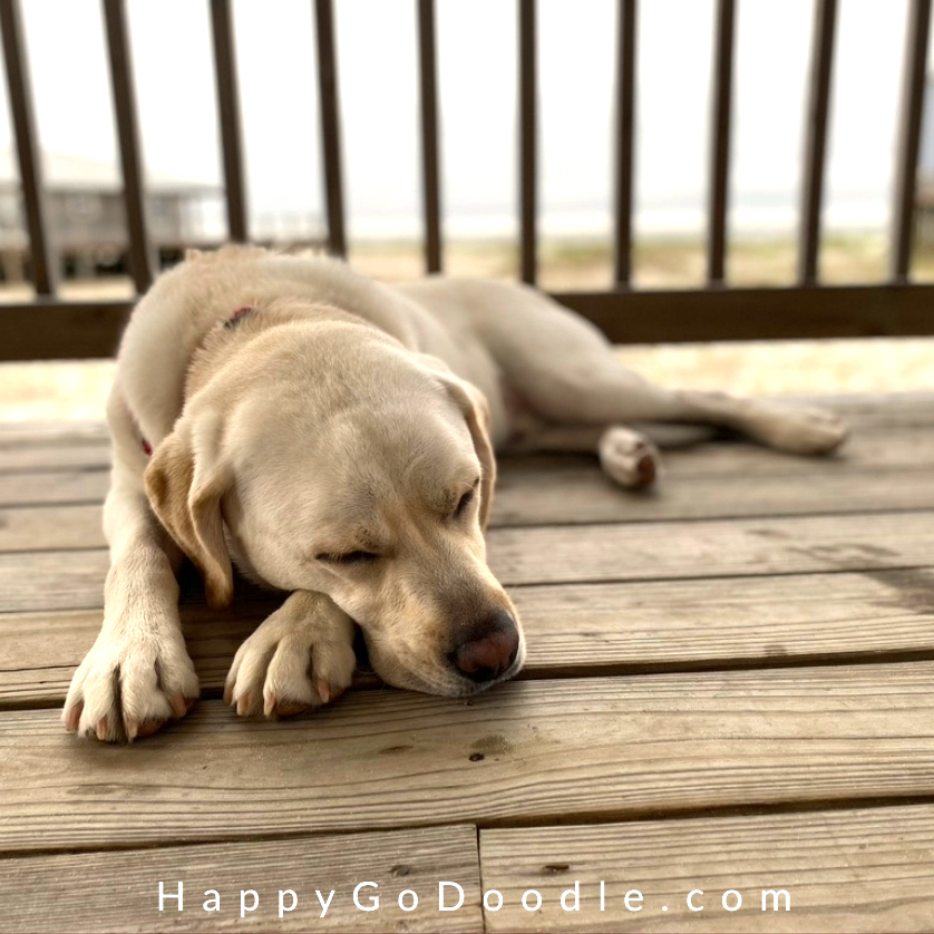 Yellow Labrador Retriever dog sleeping on a wooden deck in front of the beach at Dauphin Island, photo
