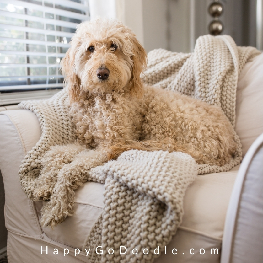 Cute Goldendoodle dog that's cream-colored sitting in chair, photo