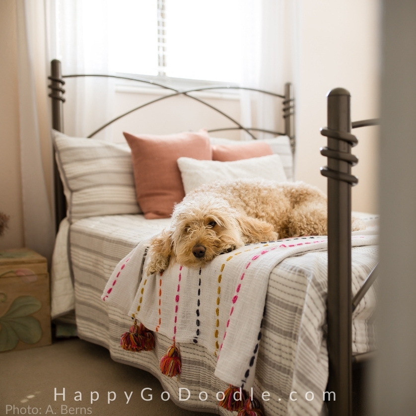 Cute Goldendoodle lying on bed, photo