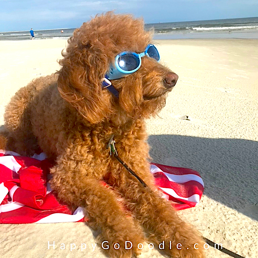 Red Goldendoodle wearing doggles and sitting by the Dauphin Island Dog Beach, photo