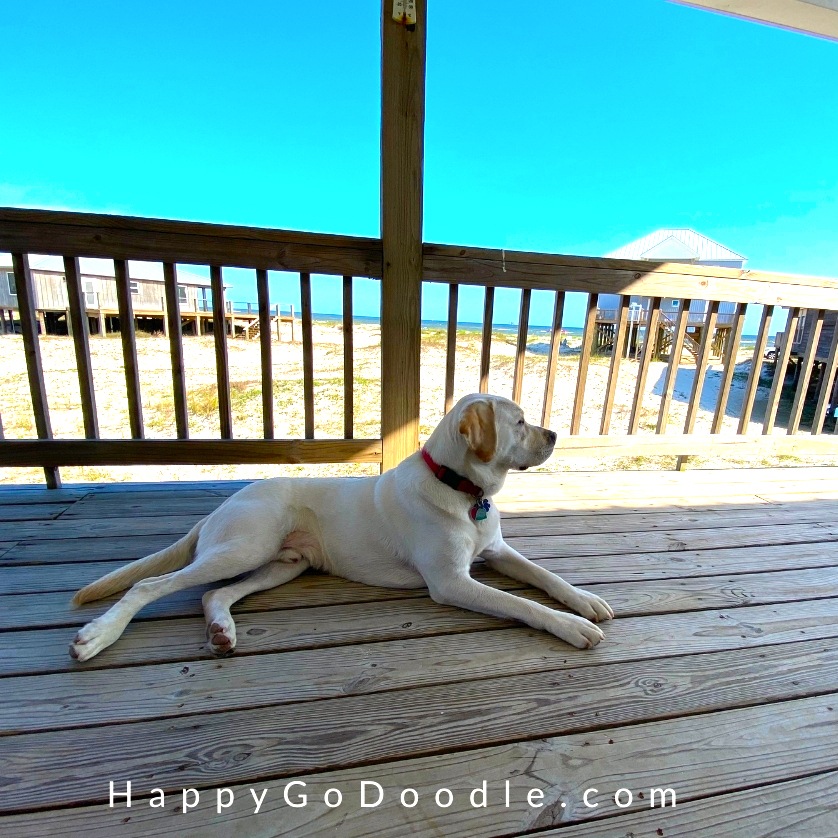 Labrador Retriever dog lying on deck of beach house with view of Dauphin Island beach, photo