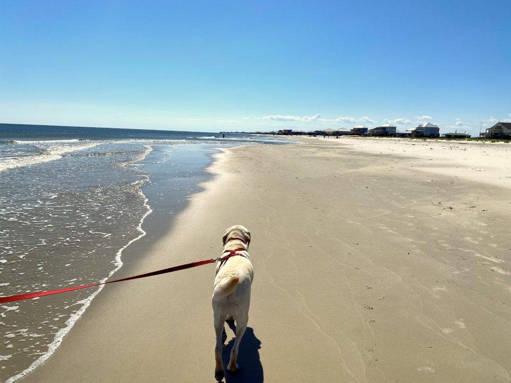 Yellow Labrador Retriever walking on leash along the beach at Dauphin Island Alabama, photo