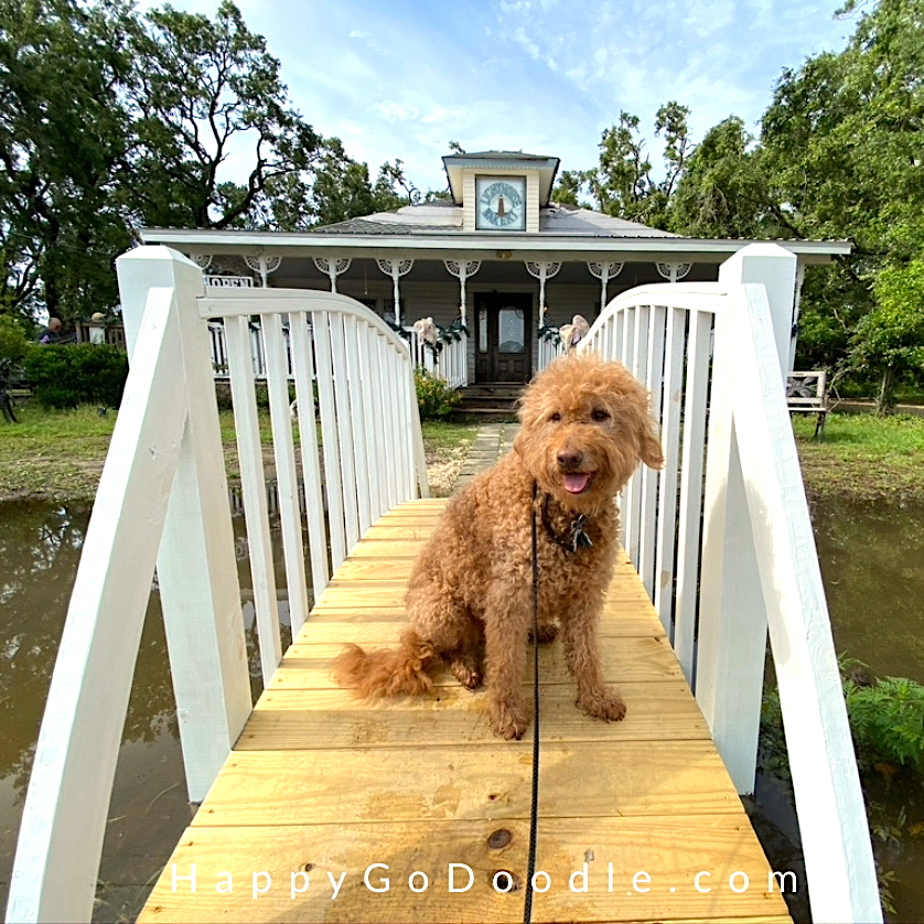 Red Goldendoodle dog sitting on a walkway in front of the Lighthouse Bakery in Dauphin Island, photo