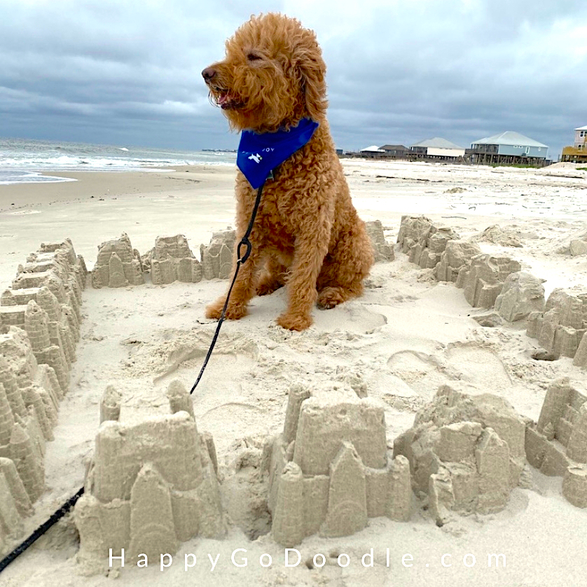 Red Goldendoodle sitting inside a square of sand castles on the dog-friendly beach in Alabama, photo