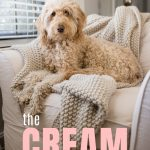 White Goldendoodle with apricot ears sitting on white couch, photo
