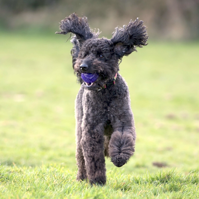 Black Doodle dog running with ears flopping in the wind, photo