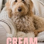 Cream Goldendoodle with apricot ears and title the cream goldendoodle, photo