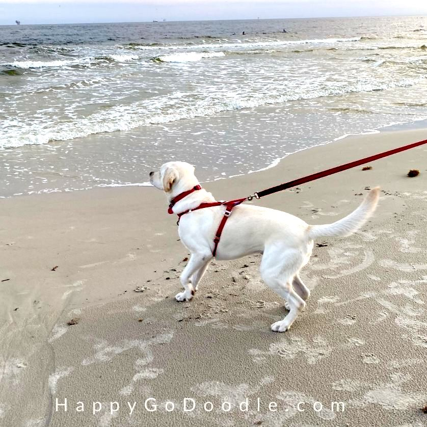 Yellow Labrador Retriever wearing a red harness and walking on the beach, photo