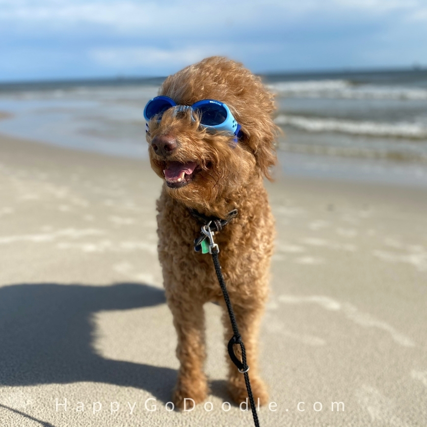 Happy apricot Goldendoodle wearing blue Doggle dog goggles and standing on the beach, photo