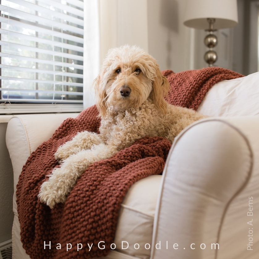 Adult cream Goldendoodle sitting in white chair, photo