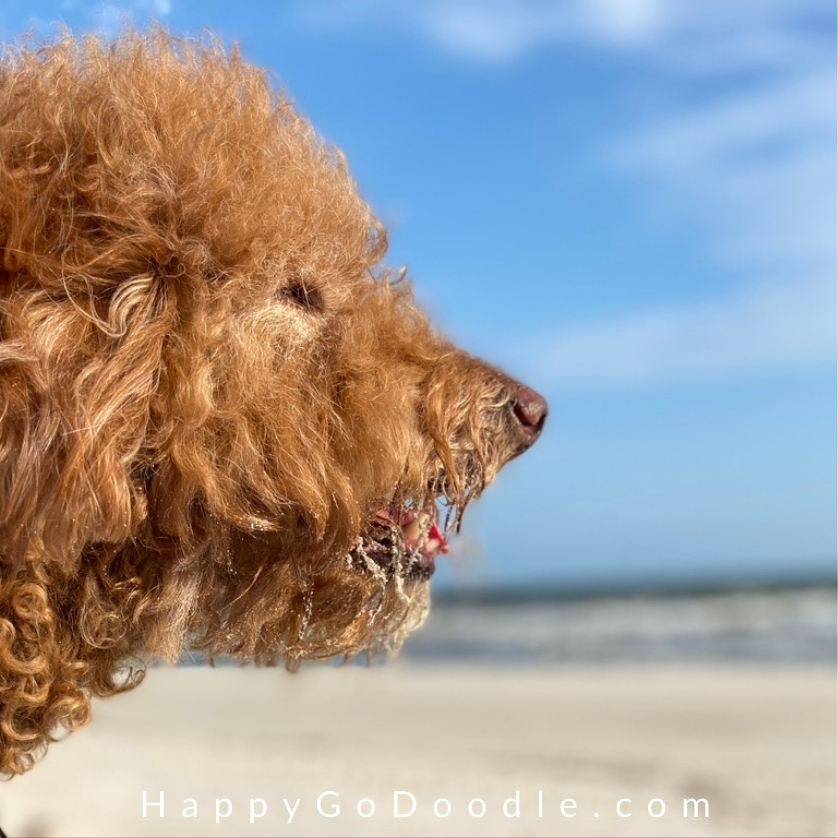 Goldendoodle dog with bit on sand around snout looking out at ocean waves on Dauphin Island in Alabama, photo