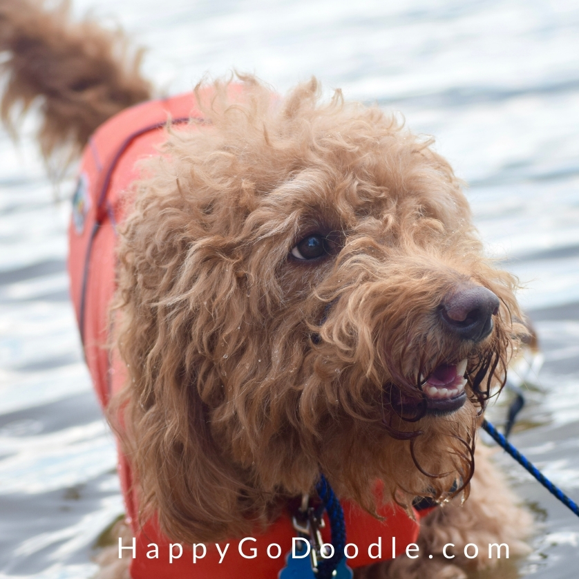 Close-up of adult red Goldendoodle wearing a life vest and standing in the water, photo